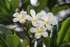 Цветок Plumeria, Таиланд стоковые изображения rf