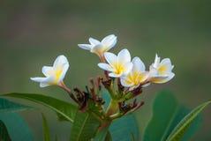 Цветок Plumeria Стоковое Фото