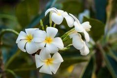 Цветок Plumeria Стоковые Изображения RF