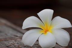 Цветок Plumeria Стоковые Фото