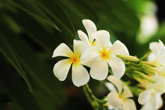 Цветок Plumeria Стоковые Изображения