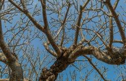 Цветок Plumeria Стоковое фото RF