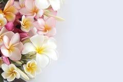 Цветок Plumeria Стоковые Фотографии RF