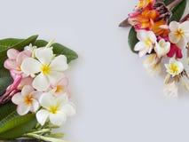 Цветок Plumeria Стоковая Фотография
