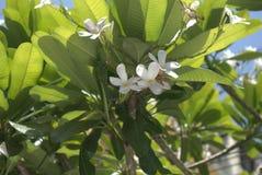 Цветок Plumeria Alba ый-бел Стоковое Изображение