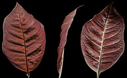 Цветок Poinsettia Стоковое фото RF