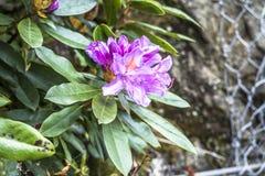 Цветок ponticum рододендрона в шотландских гористых местностях Стоковые Фото
