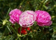 Цветок Portulaca в саде Стоковые Фотографии RF