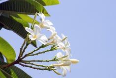 цветок pragpagini на небесно-голубом стоковые фото