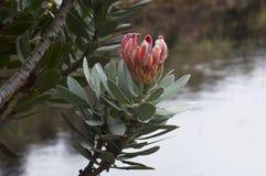 Цветок Protea Стоковые Изображения RF