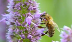 Цветок Prunella пчелы опыляя Стоковое Изображение RF