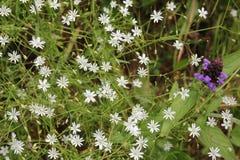 Цветок Prunella vulgaris на белом Chickweed предпосылки Весна стоковая фотография rf