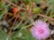 Цветок pudica мимозы, чувствительный завод Стоковые Фото