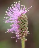 Цветок pudica мимозы Стоковые Фото