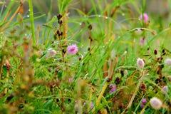 Цветок pudica мимозы Стоковая Фотография