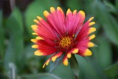 Цветок pulchella Gaillardia Стоковые Фотографии RF