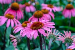 Цветок purpurea эхинацеи в саде Стоковые Фото
