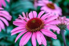 Цветок purpurea эхинацеи в саде Стоковые Изображения RF