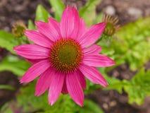Цветок purpurea эхинацеи Стоковые Фотографии RF