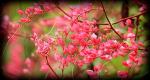Цветок Pwgchmpo Стоковая Фотография RF
