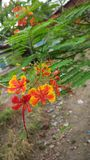 Цветок Radhachura Стоковое фото RF