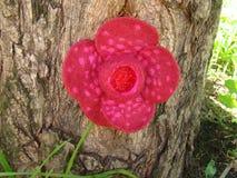 Цветок Rafflesia сделанный из шерстей на расшиве дерева Стоковые Изображения