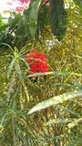 цветок rangan Стоковое Изображение RF