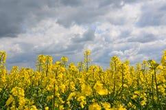 Цветок rapseed желтым цветом Стоковое Фото