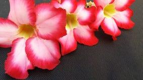 Цветок roem APOCYNACEAAE obesum Adesum стоковое изображение rf