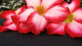 Цветок roem APOCYNACEAAE obesum Adesum стоковое изображение