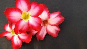 Цветок roem APOCYNACEAAE obesum Adesum стоковая фотография