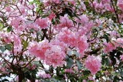 Цветок rosea Tabebuia Стоковые Изображения RF