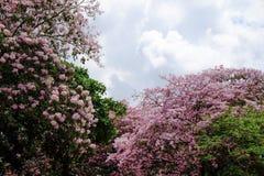 Цветок rosea Tabebuia Стоковая Фотография