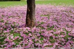 Цветок rosea Tabebuia Стоковая Фотография RF