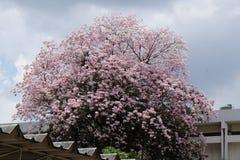 Цветок rosea Tabebuia Стоковое Изображение RF