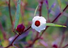 Цветок Roselle Стоковые Изображения