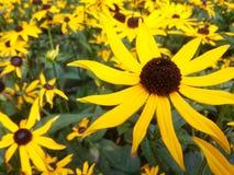 Цветок Rudbeckia Стоковые Фотографии RF