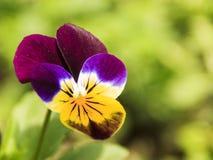 Цветок ` s весны фиолетовый в моем саде стоковое фото