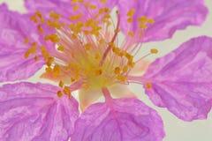 Цветок ` s ферзя изолированный на белой предпосылке Стоковая Фотография RF
