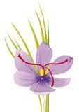 Цветок Safran Стоковое Изображение