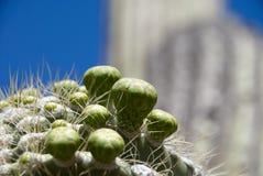 Цветок Saguaro Стоковое Изображение RF