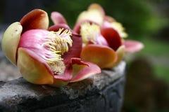 Цветок Sala Стоковое Изображение RF
