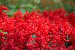 Цветок Salvia зацветает в саде Стоковая Фотография RF