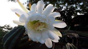 Цветок San Pedro стоковое фото