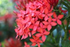 Цветок Santan Стоковое Изображение