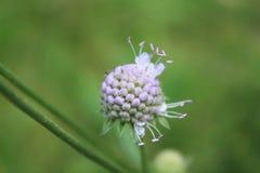 Цветок Scabiosa начиная зацвести в лесе стоковая фотография rf