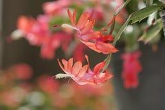 Цветок Schlumbergera Стоковая Фотография