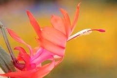 Цветок Schlumbergera Стоковая Фотография RF