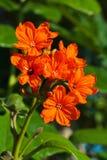 Цветок sebestena Cordia Стоковое Фото