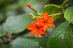 Цветок sebestena Cordia Стоковые Изображения RF